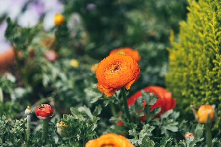 Orange Persian Buttercup or Asiatic buttercup flowers with green leaves in the garden