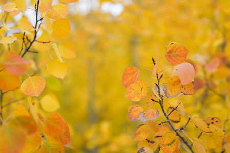 This is the picture of Aspen tree with golden yellow leaves from Aspen, Colorado. Фото со стока - 87166382