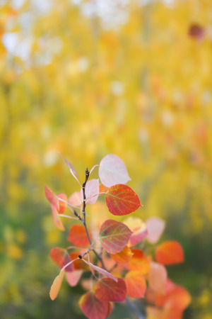 This is the picture of Aspen tree with golden yellow leaves from Aspen, Colorado. Фото со стока - 87477778