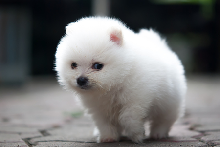 portrait of a white Pomeranian puppy