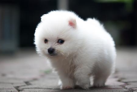 portrait of a white Pomeranian puppy