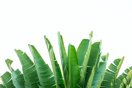banana leaves: Isolate the banana leaf.