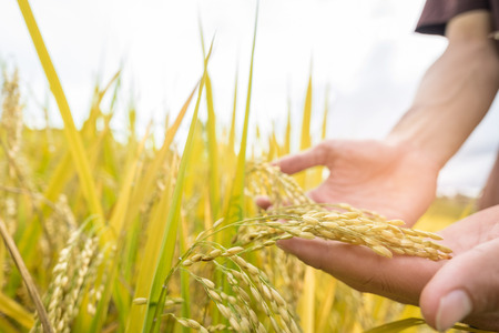 tenderly: Farmers hand tenderly touching a young rice in the paddy field