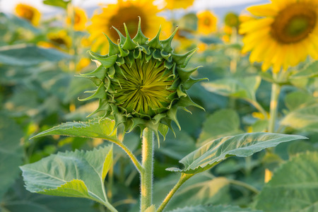 Young sunflower in the field on a sunny day photo