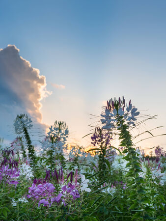 lightbeam: Spider Flower, Cleome Spinosa, Caparidaceae field sunset and sunbeam Stock Photo