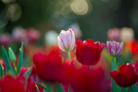tulips field: Beautiful tulips field in garden Stock Photo