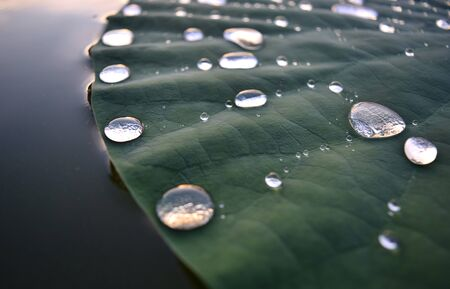 Sequence of Water Droplets on a Lily Pad (Water Lily)