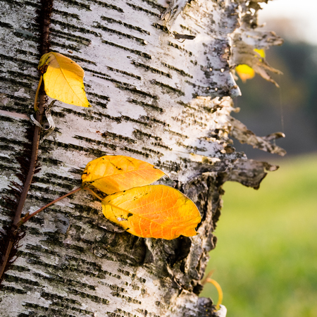Horizontal vine and yellow leaves on birch bark