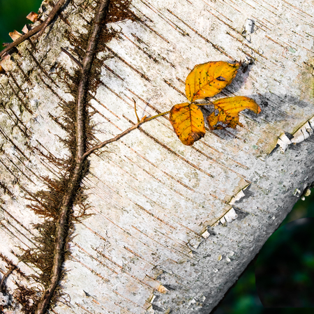 Diagonal vine and yellow leaves on birch bark Stock Photo