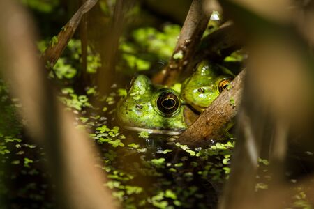 Pair of frogs in the Reeds Stock Photo