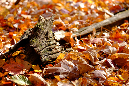 A decaying stump buried in fallen leaves