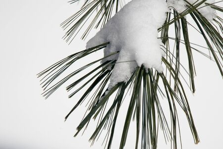 Pine Needles covered by snow with white background