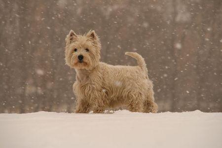 West Highland White Terrier - winter scene Stock Photo - 3904029