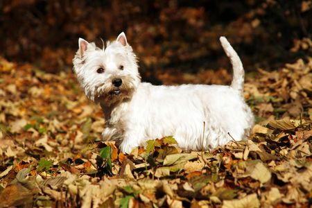 West Highland White Terrier - autumn scene