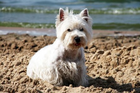 West Highland White Terrier on the beach photo