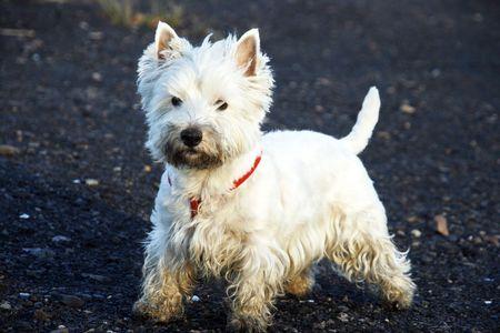 West Highland White Terrier - autumn scene photo