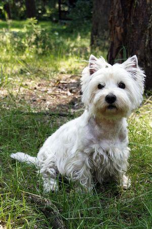 West Highland White Terrier - outdoor scene photo