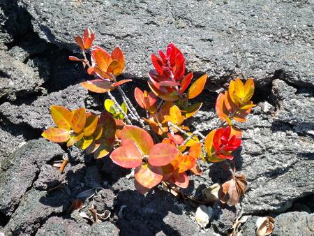 New plants growing in lava cracks