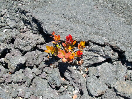 New plants growing in lava cracks
