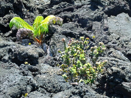 New plants growing in lava cracks Stock Photo - 27008093