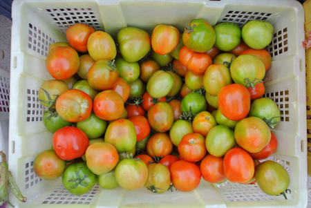 food basket: red and green tomatoes in basket