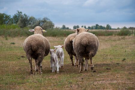 Family sheep Stock Photo - 14993564