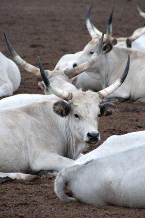 Hungarian grey bulls photo