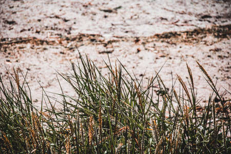 Wild grasses in the dunes on the coast in summer Stock fotó