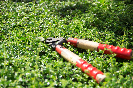 Pruning shears left on the shrubs in a garden