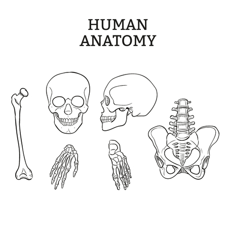 wrist joint: Human joints and bones vector set