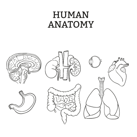 臓器のベクトル図  イラスト・ベクター素材