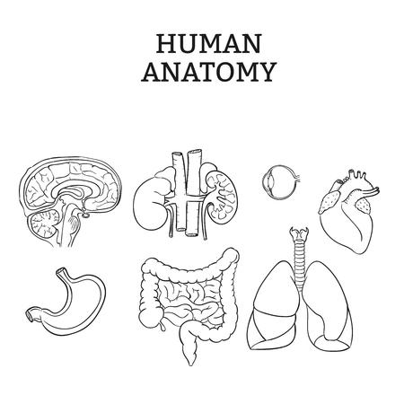 gallbladder surgery: Internal Organ Vector Illustration
