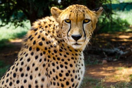 Close up of Cheetah staring into camera Reklamní fotografie