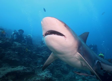 bull shark: Bull Shark - Zambezi Shark Stock Photo