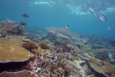 Black Tip Shark photo