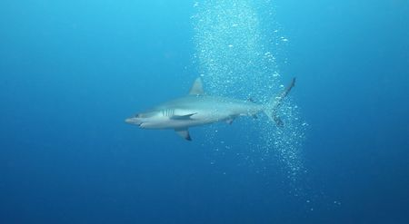Reef Shark in Open Water photo