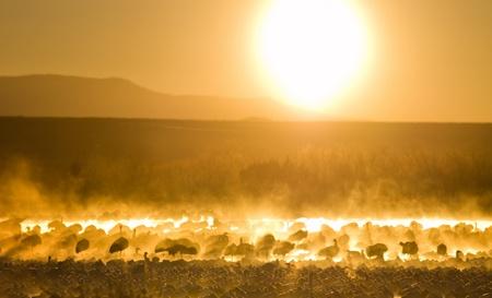 bandada pajaros: Bosque del Apache