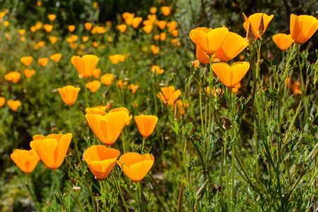 california state: Beautiful Poppy Flower, which is California State Flower. Stock Photo