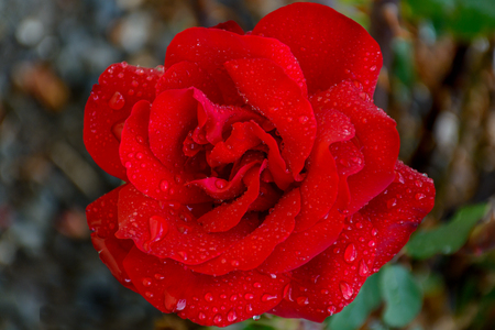 Beautiful Close Up Rose Flower in my Back Yard Imagens