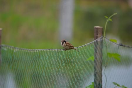 A Sparrow Sitting On Net in Green Farmland