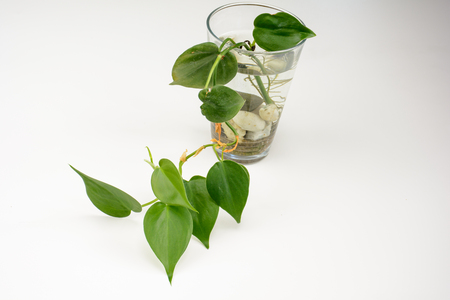 Light Room Shooting Bottle of Green Epipremnum aureum Stock Photo