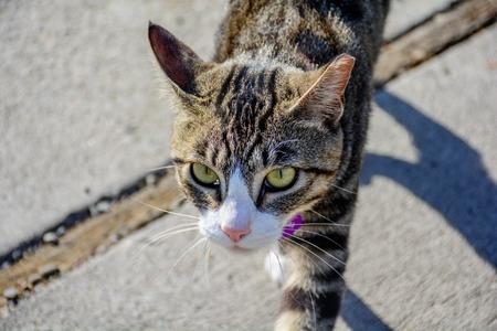 imposing: Close Up Outdoor Imposing Cat Walking