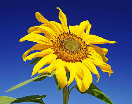 sunflower on bright day with bee Stock Photo - 6748035