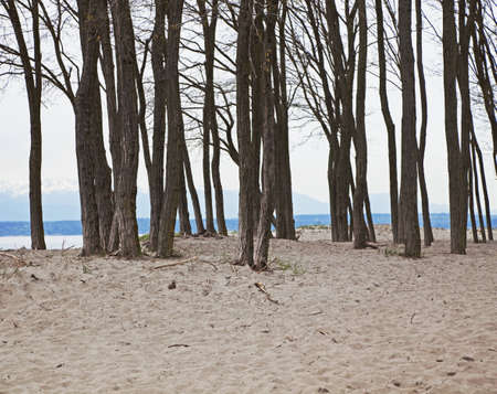 verticals: stand of leafless trees on beach