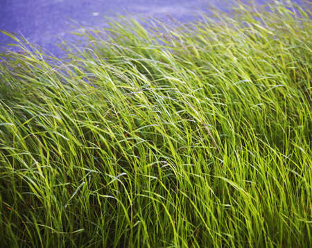 tufts of grass moving in wind