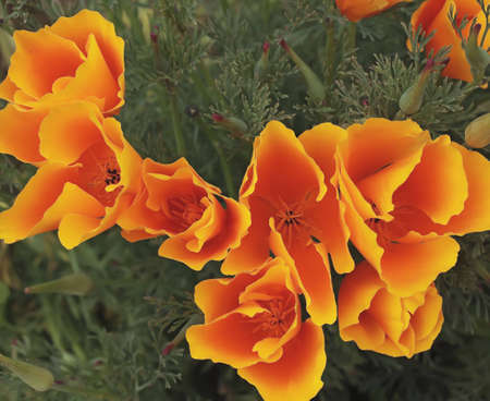 patch of california poppies