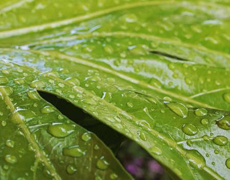 rain drops on large leaf plant