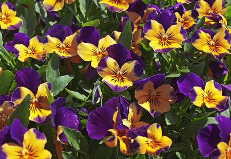 patch of purple and yellow pansies Stock Photo