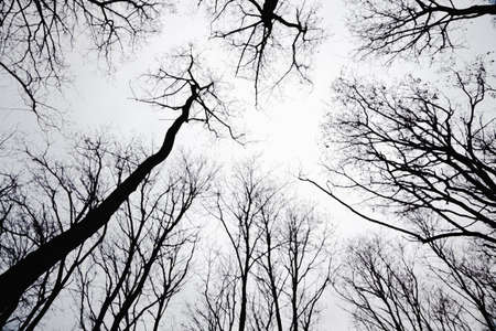 stand of leafless trees in silhoutte Stockfoto