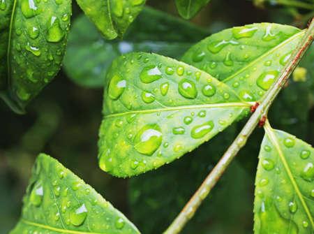 rain drops on large leaf shrub